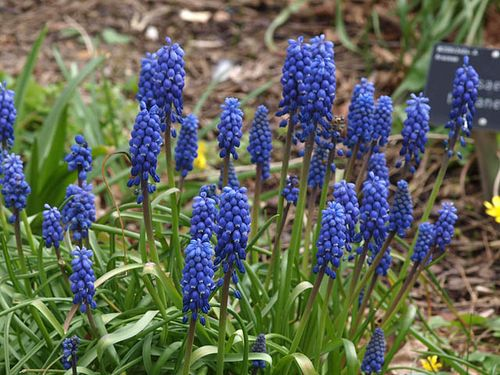 Muscari%20%27Blue%20Star%27