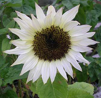 Sunflower_moonshadow_new